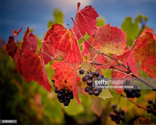 Gamay grapes in autumn coloured vineyard, France