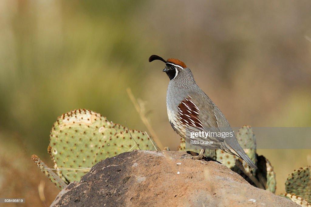 Gambel's Quail -Callipepla gambelii-, adult on rock in desert, Bosque del Apache National Wildlife Refuge, New Mexico, USA : Stock Photo