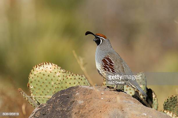 gambel's quail -callipepla gambelii-, adult on rock in desert, bosque del apache national wildlife refuge, new mexico, usa - common quail stock pictures, royalty-free photos & images