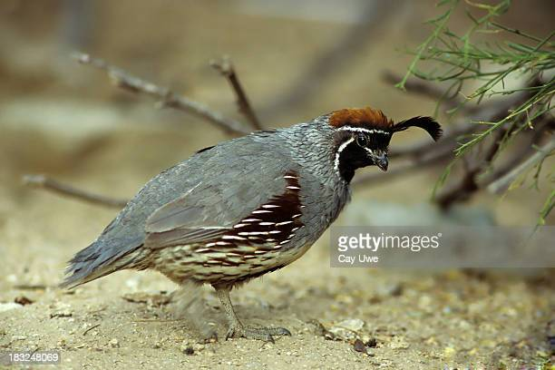 gambel's quail looking for food - quail bird stock photos and pictures