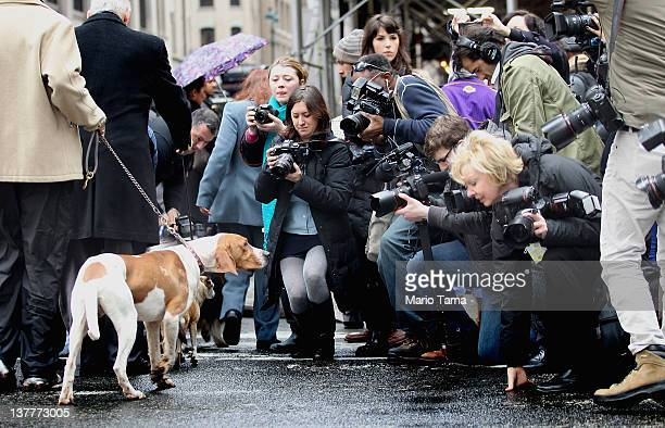 Game Changer a 17 month old American English Coonhound walks past a media gaggle at the 136th annual Westinster Kennel Club Dog Show preview on...