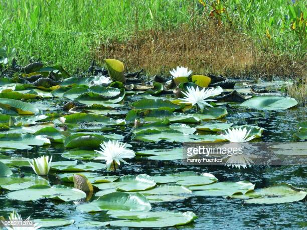 game: find the alligator on pic - fanny pic stock photos and pictures