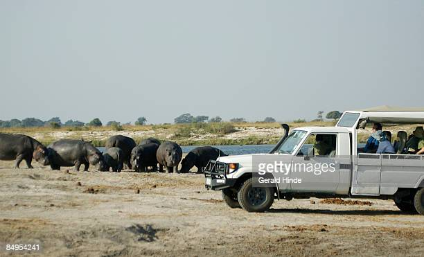 Game viewing hippos from vehicle, Chobe, Botswana
