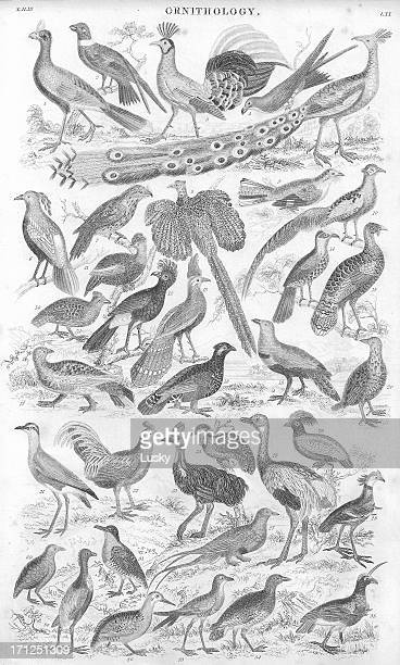 gamebirds old litho print from 1853 - lithograph stock pictures, royalty-free photos & images