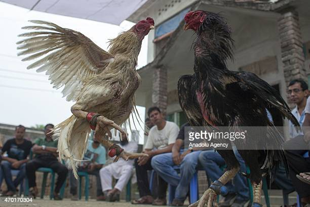 Gamecocks fight at a cockpit as people witness a cockfight arranged to celebrate Bengali New Year 1422 near Dhaka Bangladesh on April 17 2015