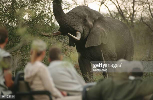 Game-drive safari watching African Elephant (Loxodonta africana), South Africa