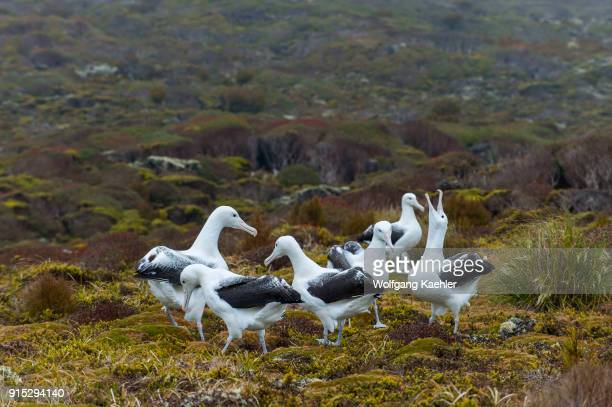 Gamming of several pairs of southern royal albatrosses on Enderby Island a subAntarctic Island in the Auckland Island group New Zealand