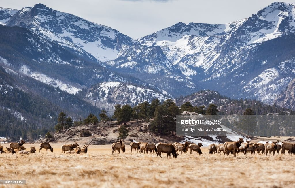 Gang of elks against mountains in Rocky Mountain National Park, Colorado, USA : Stock Photo
