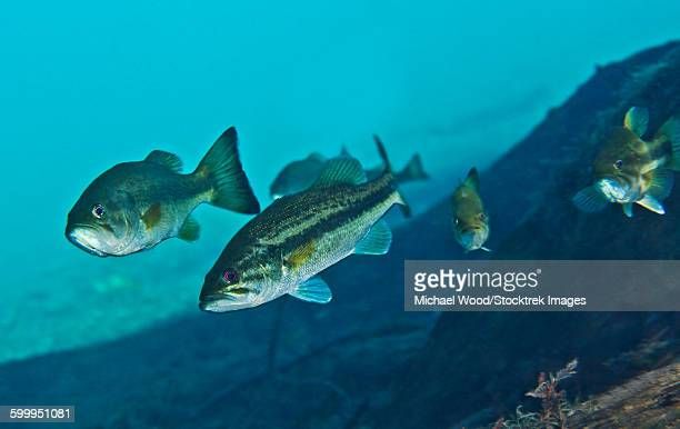 a gang of largemouth bass swimming upstream. - largemouth bass stock pictures, royalty-free photos & images