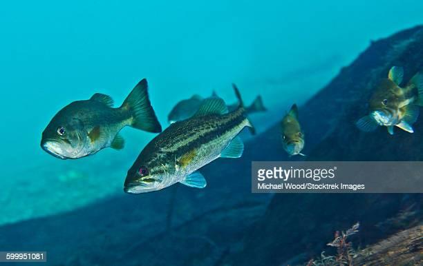 A gang of Largemouth Bass swimming upstream.