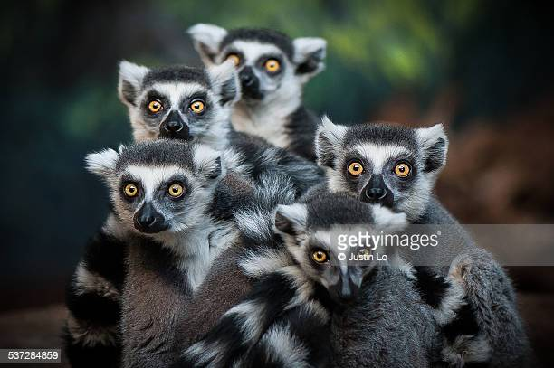 gang of lemurs - lemur stock pictures, royalty-free photos & images
