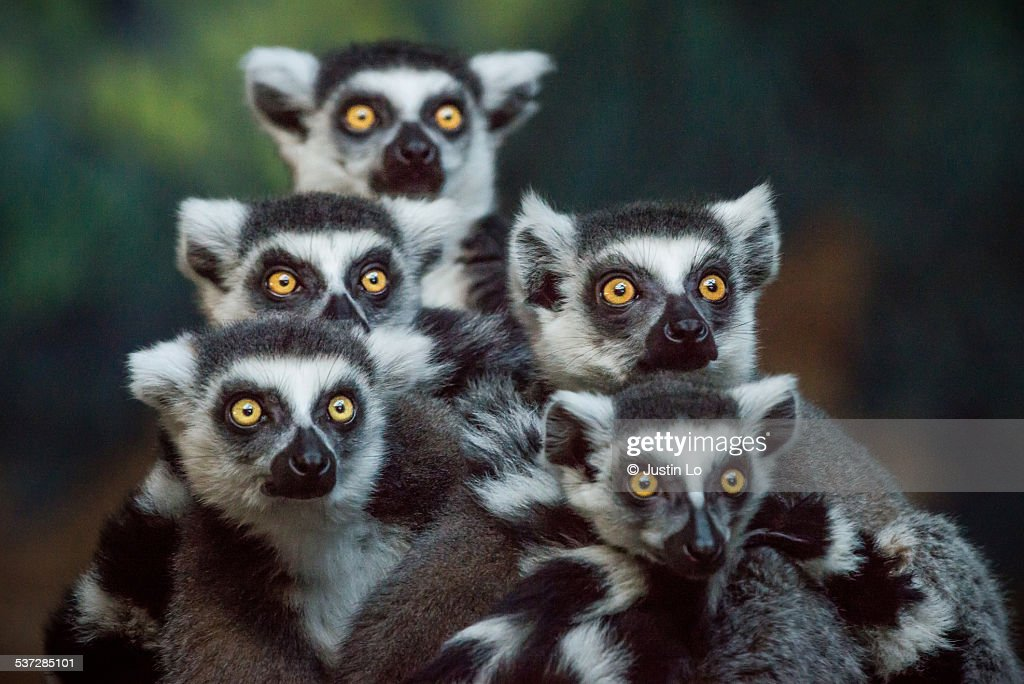 Group of lemurs looking in one direction, ring tailed lemur, Lemur catta.