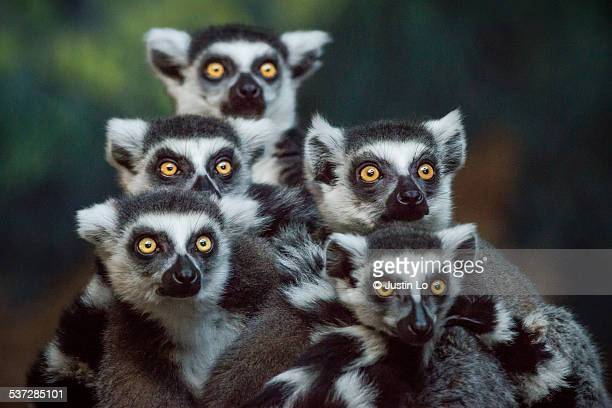 Gang of Lemurs