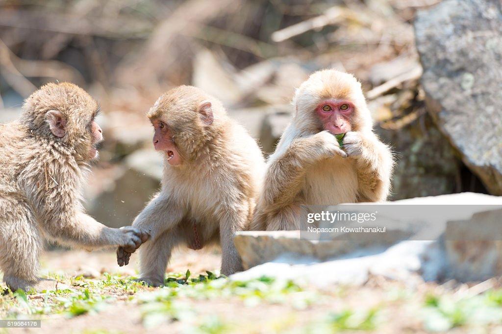 A gang of snow monkey children : Stock Photo