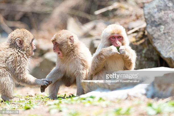 A gang of snow monkey children