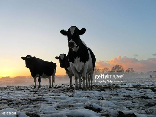 'Gangster Heifers' Cows in the snow at sunset