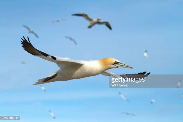 gannet airways - gannet stock photos and pictures