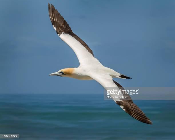 gannet at muriwai - northern gannet stockfoto's en -beelden