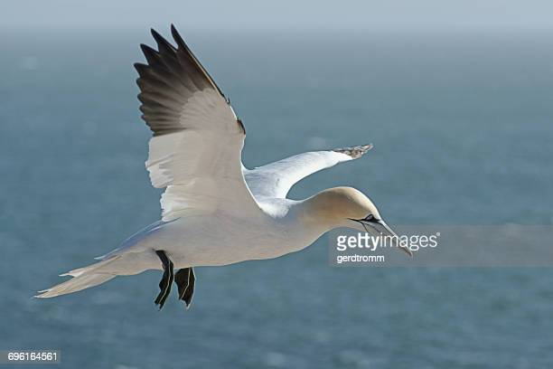 Gannet bird flying over the North Sea, Helgoland, Germany