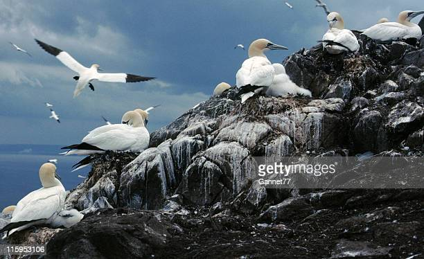 gannet colony, bass rock, scotland - gannet stock pictures, royalty-free photos & images