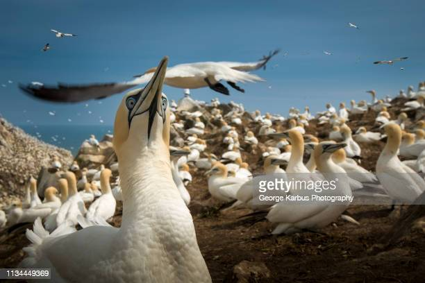 gannet colony, south west cork, county cork, ireland - cork material stock photos and pictures
