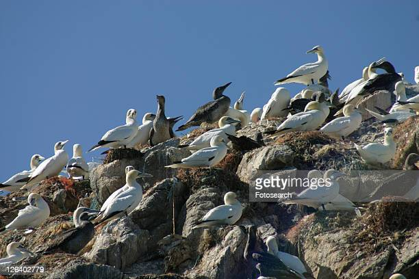 gannet colony sula bassana, alderney, british isels - gannet stock photos and pictures
