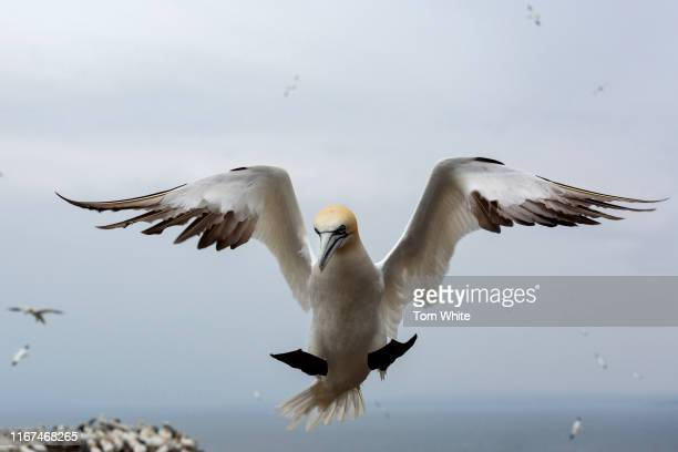 Gannet comes into land on Bass Rock on September 12, 2019 in Dunbar, Scotland. The 107m high slab of volcanic rock off the coast of Scotland is home...