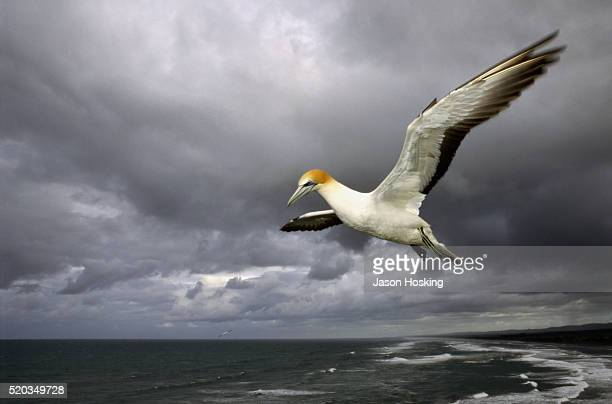 gannet flying above the sea, new zealand, australia - gannet stock pictures, royalty-free photos & images