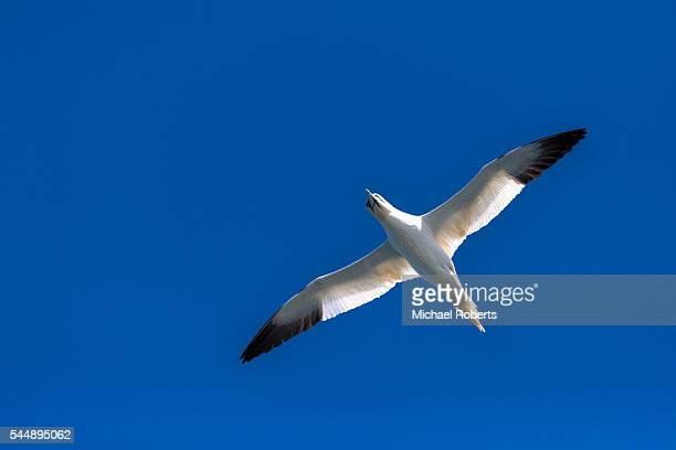 Gannet flying in blue sky