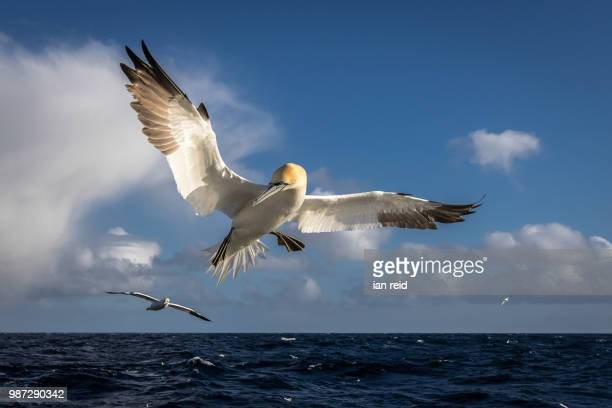 a gannet flying in shetland, scotland. - zeevogel stockfoto's en -beelden