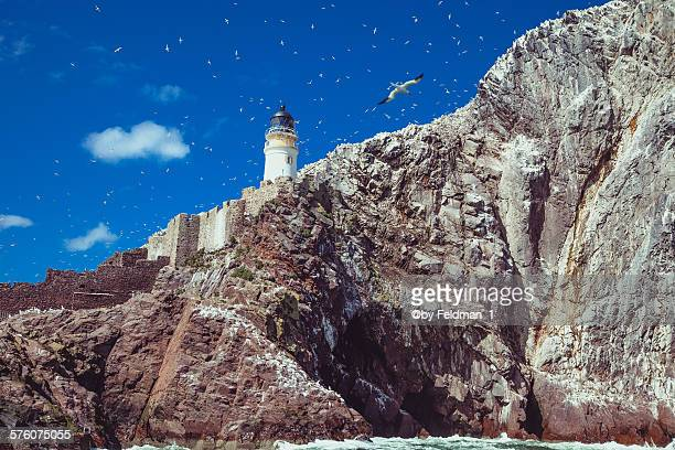 gannet flying over the lighthouse on bass rock - ロージアン ストックフォトと画像