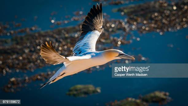 gannet flying over water, helgoland island, germany - gannet stock photos and pictures
