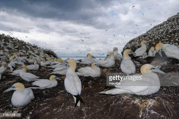 gannet in bass rock - northern gannet stockfoto's en -beelden
