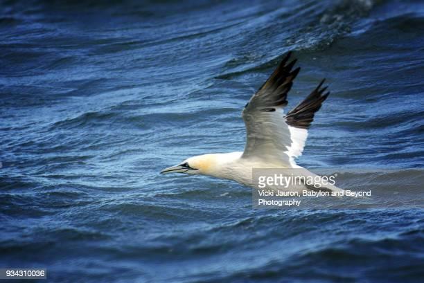 gannet in flight against water in the atlantic ocean - northern gannet stockfoto's en -beelden