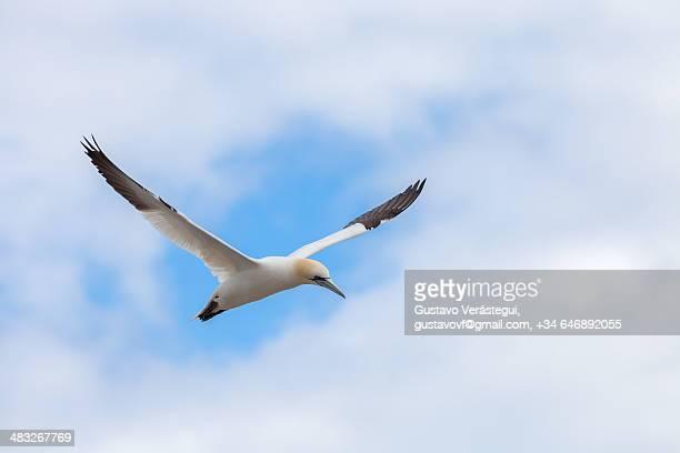 gannet in flight framed by clouds - northern gannet stockfoto's en -beelden