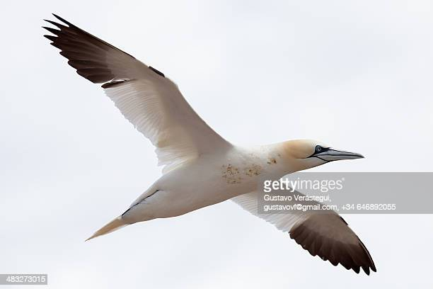 gannet in flight in front of a white background - gannet stock photos and pictures