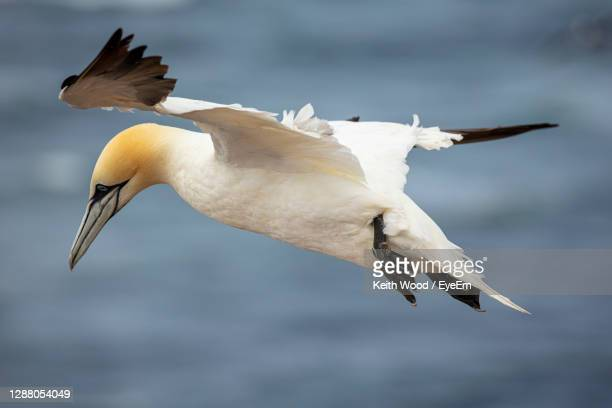gannet in flight - gannet stock pictures, royalty-free photos & images