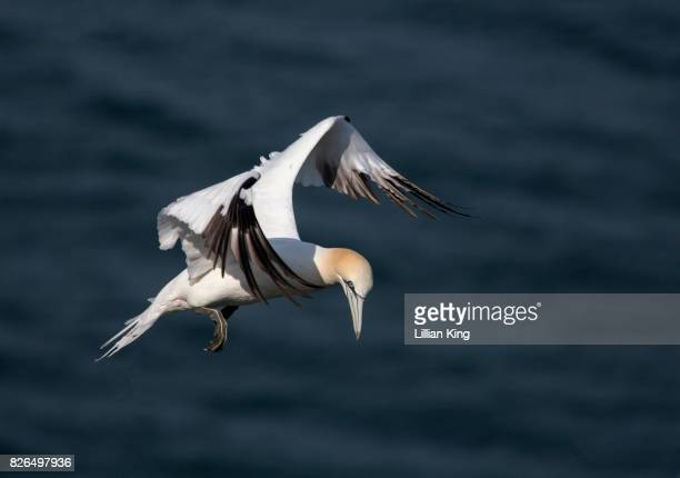gannet in flight - gannet stock photos and pictures