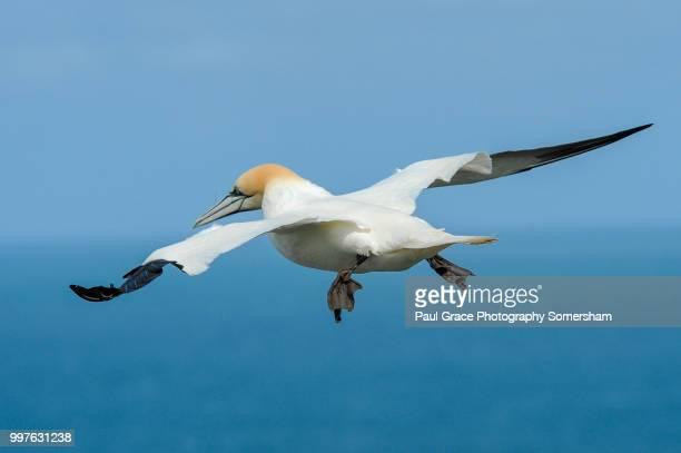 gannet (morus bassanus) in flight. - northern gannet stockfoto's en -beelden