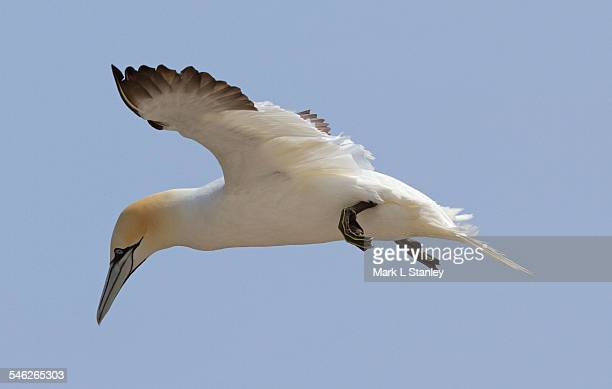 gannet - morus bassanus - gannet stock photos and pictures