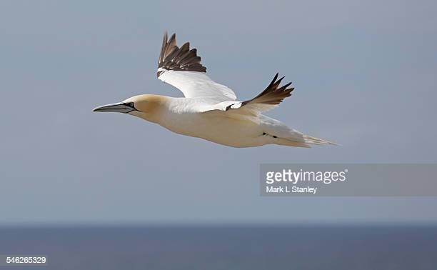 gannet - morus bassanus - northern gannet stockfoto's en -beelden
