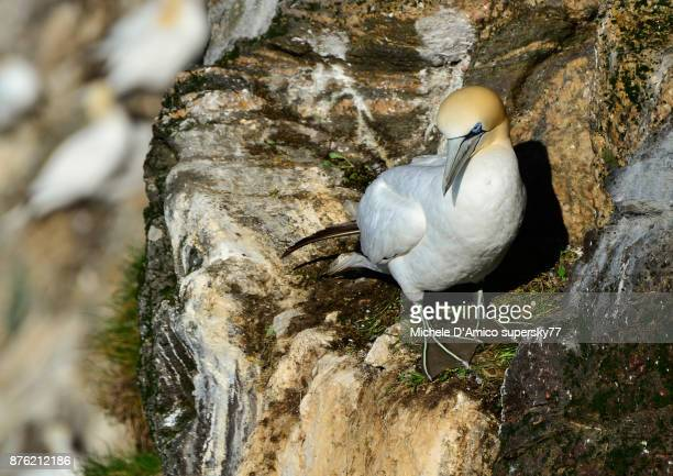 Gannet on the cliff