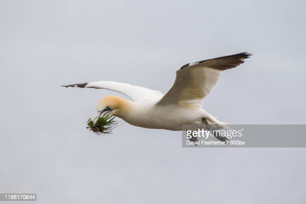 gannet - gannet stock pictures, royalty-free photos & images