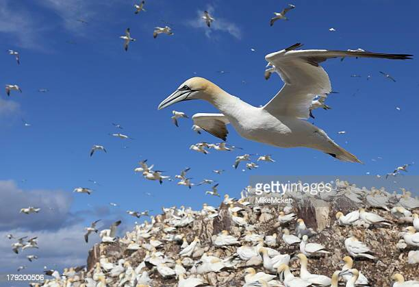 gannet - gannet stock photos and pictures