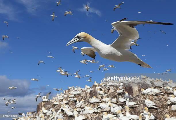 gannet - jan van gent stockfoto's en -beelden