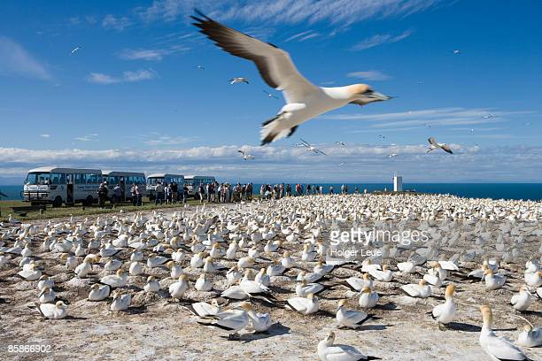 gannet safari at cape kidnappers gannet colony. - rookery stock pictures, royalty-free photos & images