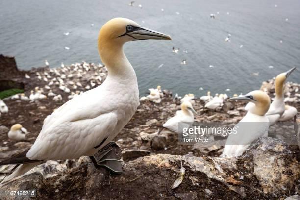 Gannet stands among thousands of its fellow birds on Bass Rock on September 12, 2019 in Dunbar, Scotland. The 107m high slab of volcanic rock off the...