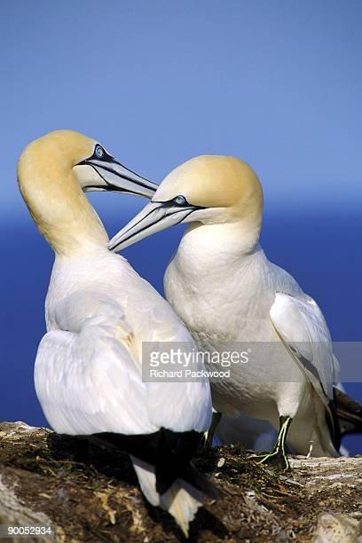gannet, sula bassana, allo-preening behaviour, gt.saltee is., ireland - gannet stock pictures, royalty-free photos & images
