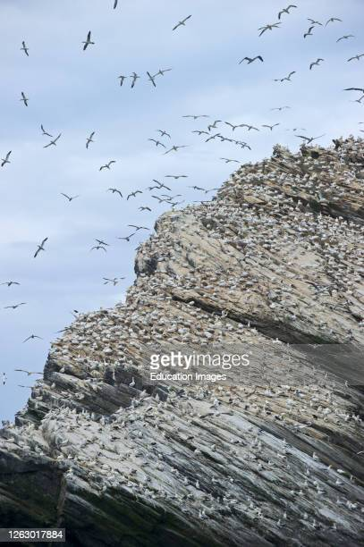 Gannet, Sula bassana, breeding colony at Hermaness National Nature Reserve on Unst, Shetland.