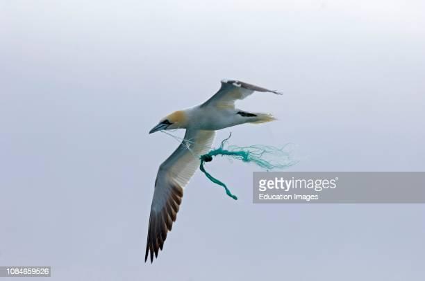 Gannet, Sula Bassano, using fishing net as nesting material, Noss Shetland.